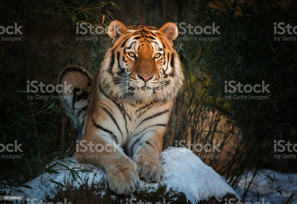 Siberian tiger lying on snow in the evening stock photo