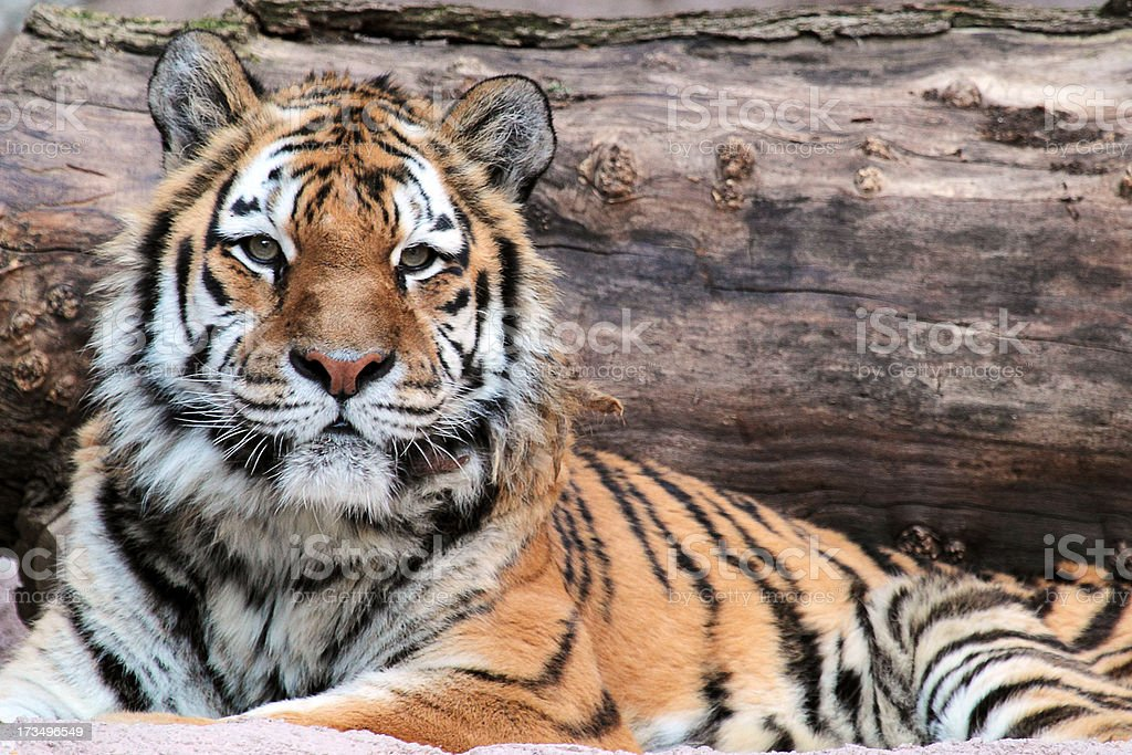 Siberian tiger (Panthera tigris altaica) lying stock photo