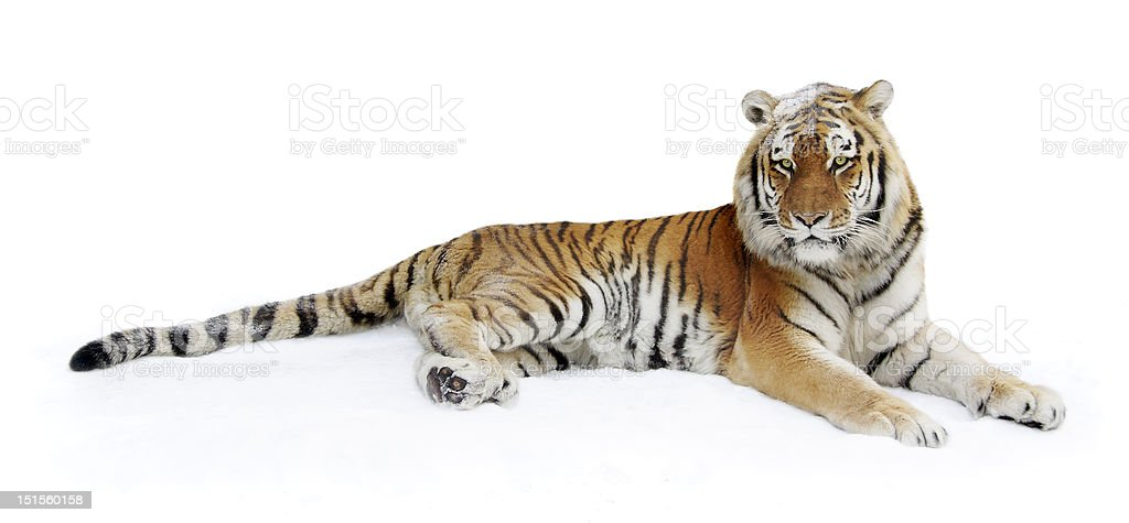 Siberian tiger on a snow stock photo