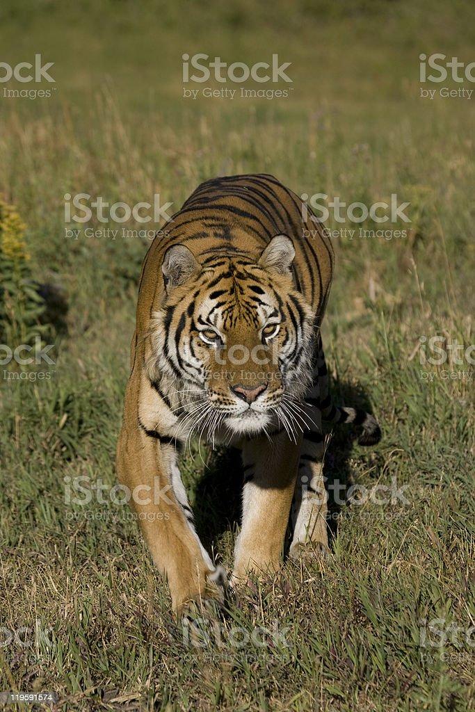 Tigre sibérien sur le mouvement photo libre de droits