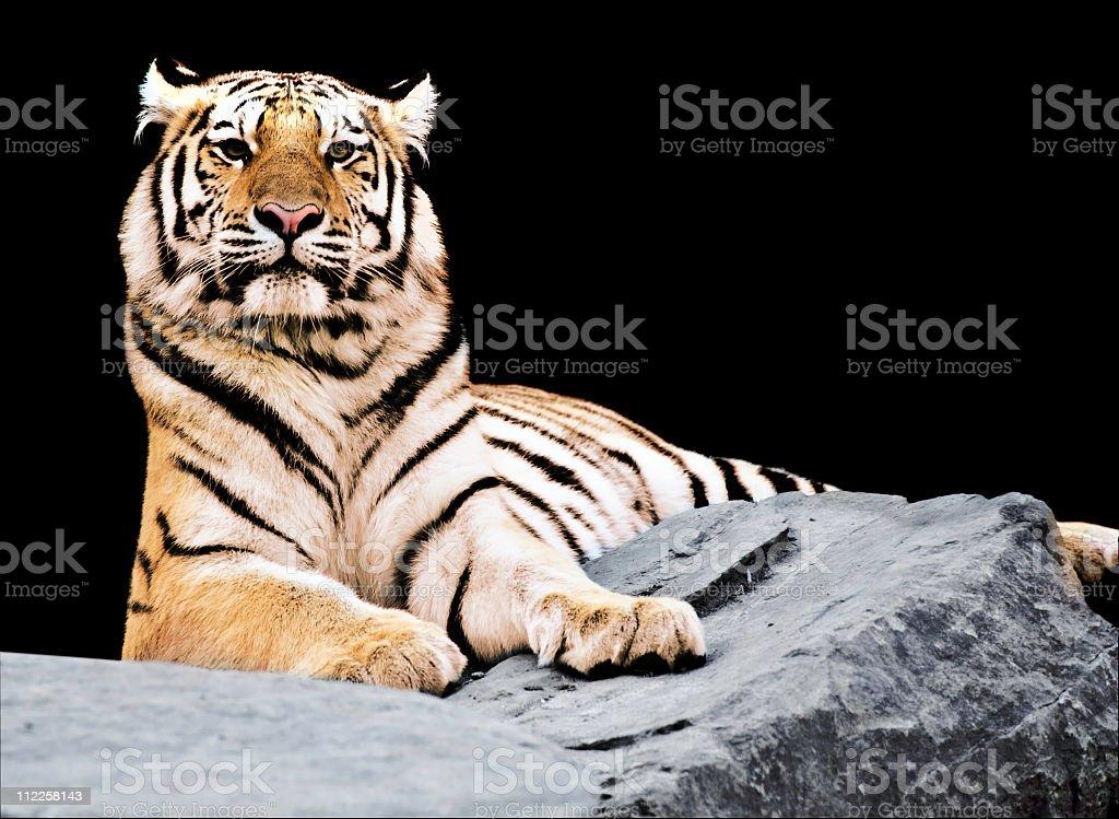 Siberian tiger (Panthera tigris altaica) royalty-free stock photo