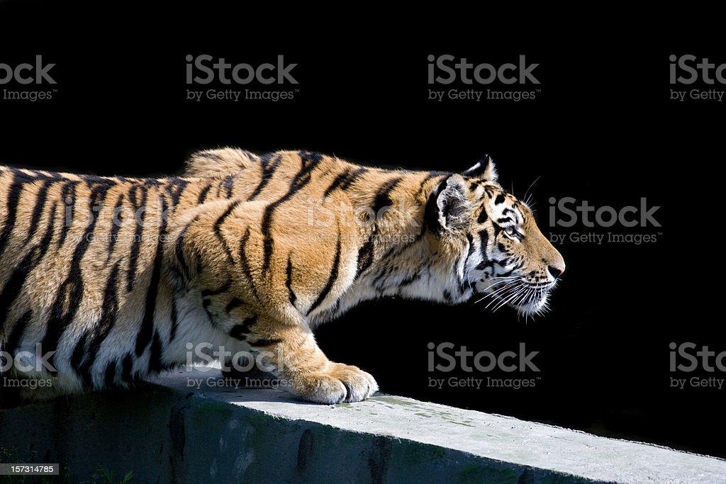 Siberian tiger (Panthera tigris altaica) stock photo