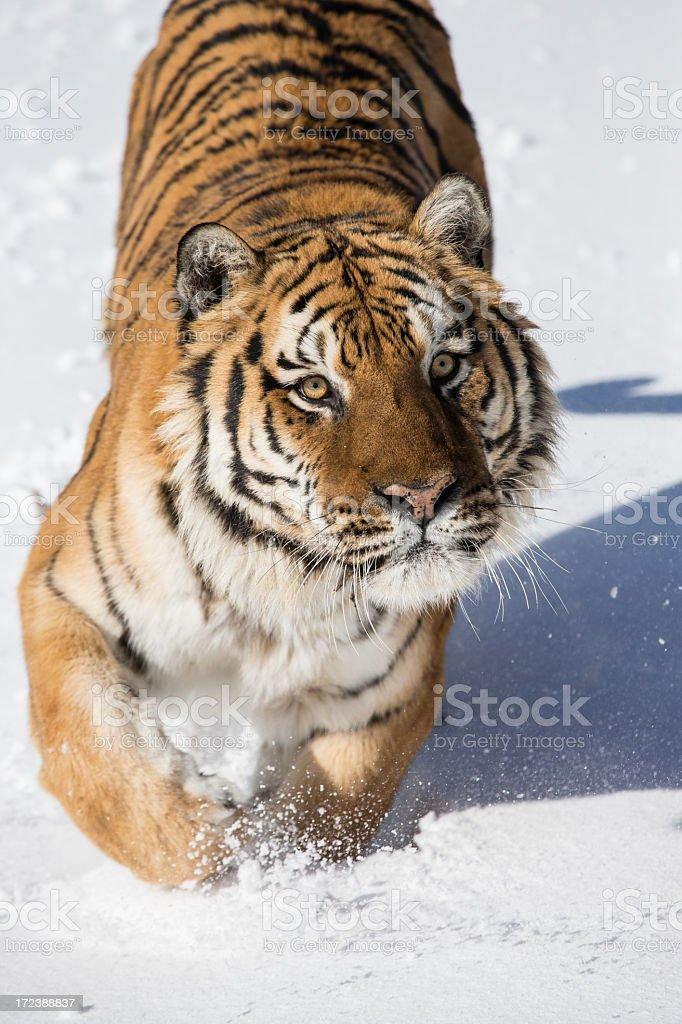 Siberian Tiger royalty-free stock photo