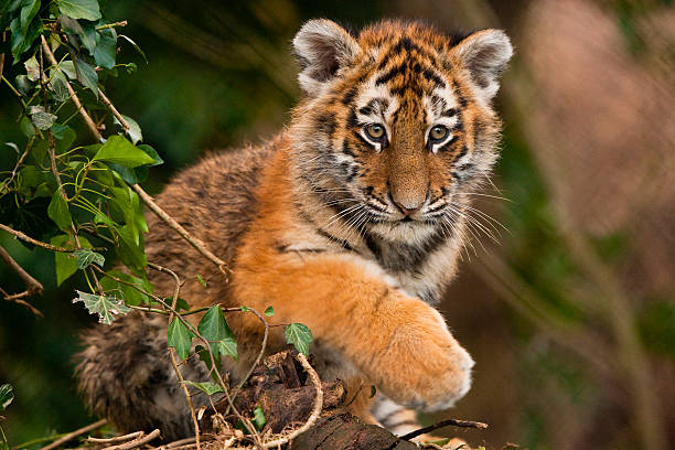 Pictures Of Baby Tiger