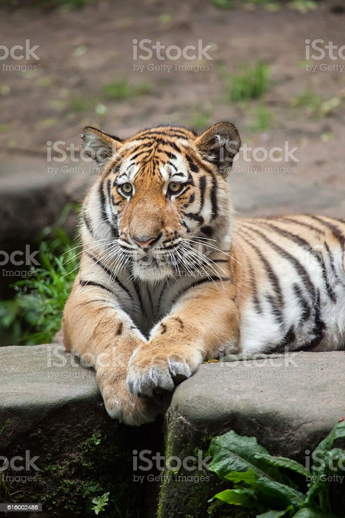 Siberian tiger (Panthera tigris altaica). stock photo