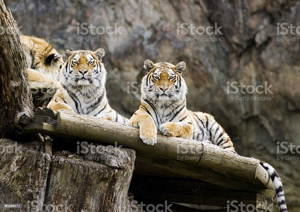 Siberian tiger (Panthera tigris altaica) royalty-free stock photo