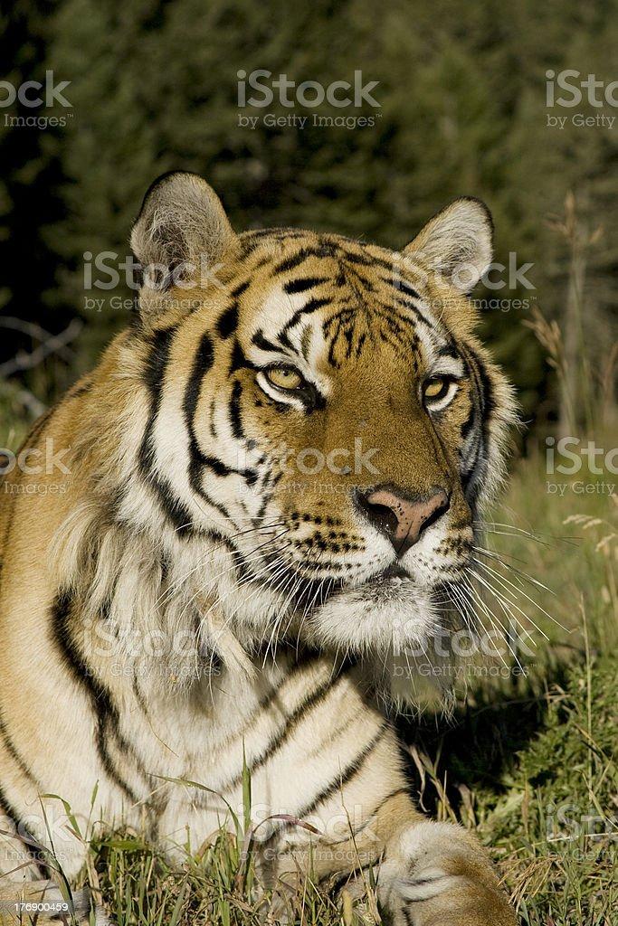 Tigre sibérien se trouve au bord de la forêt. photo libre de droits