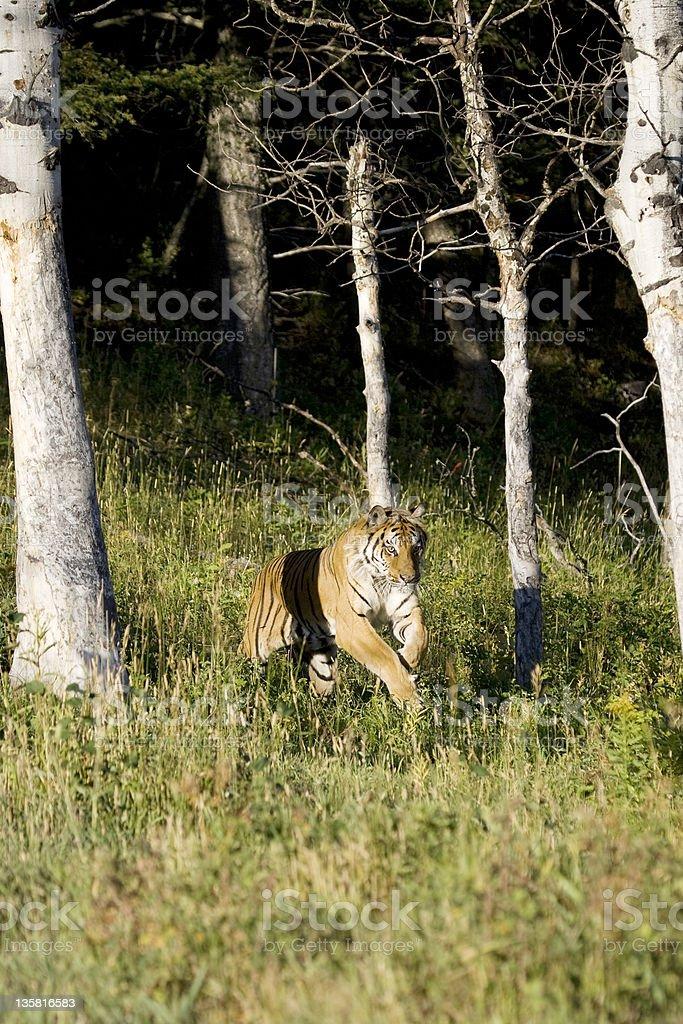 Tigre sibérien courir dans les bois photo libre de droits