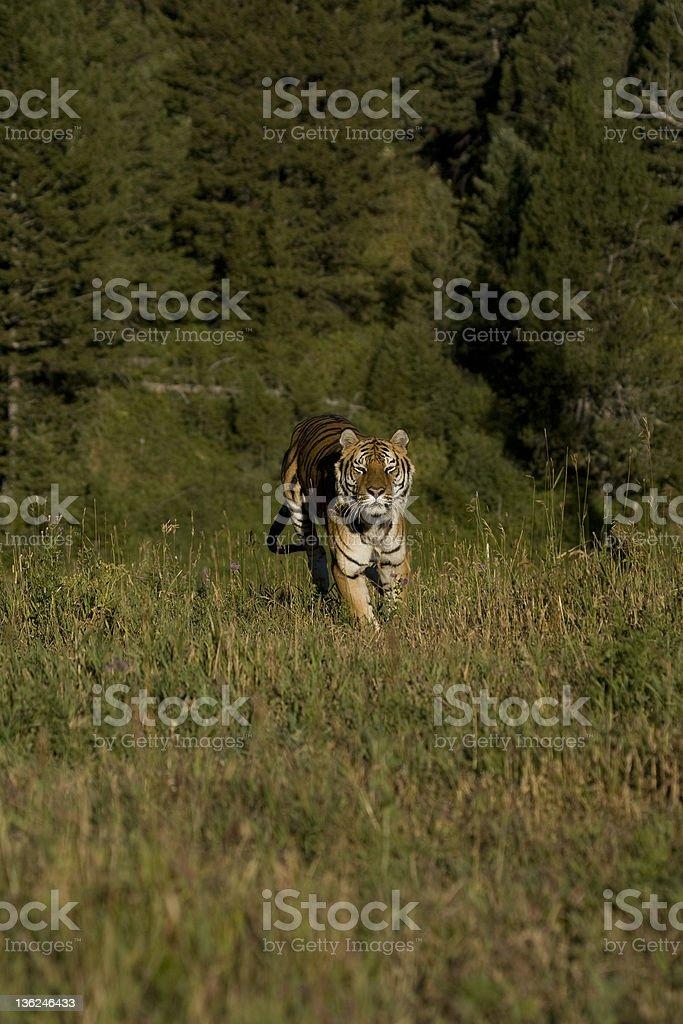 Tigre sibérien passe par le bois photo libre de droits