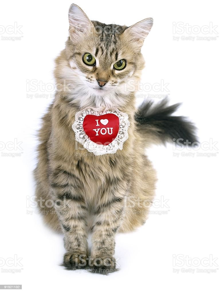 Siberian Valentine cat stock photo