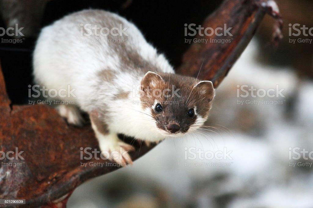 Siberian weasel spring in Kamchatka stock photo