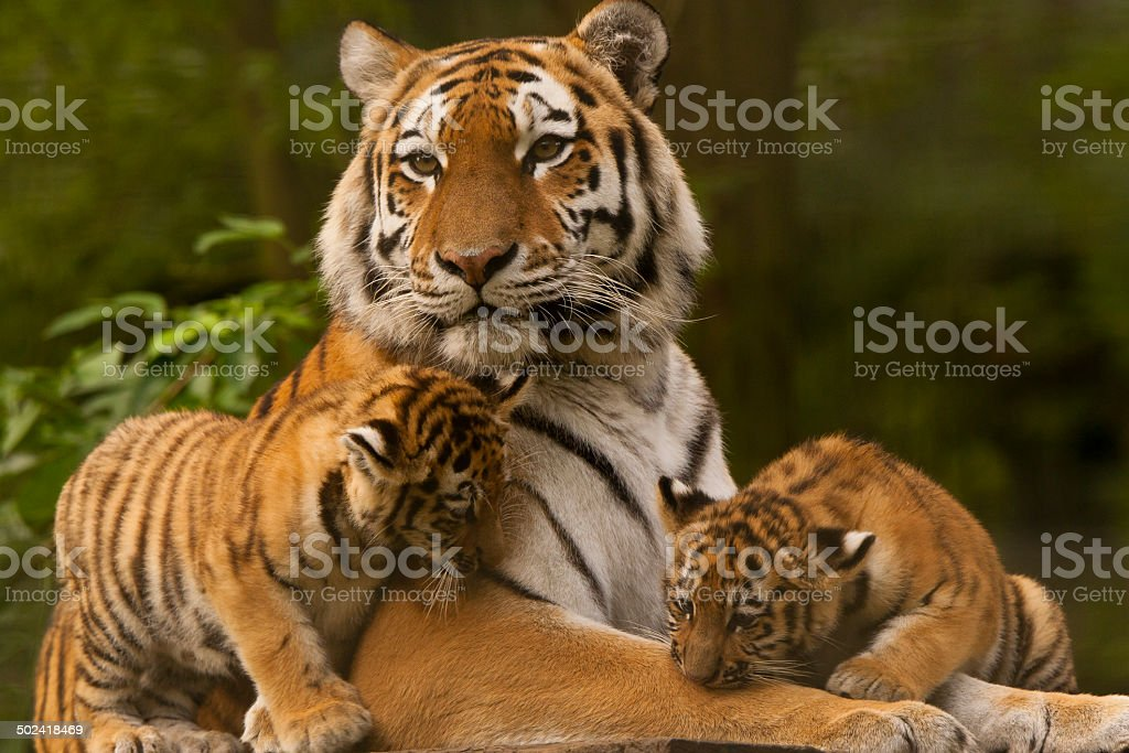 Siberian/Amur Tigers (Panthera Tigris Altaica) stock photo