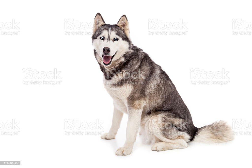 Siberien husky dog in studio stock photo