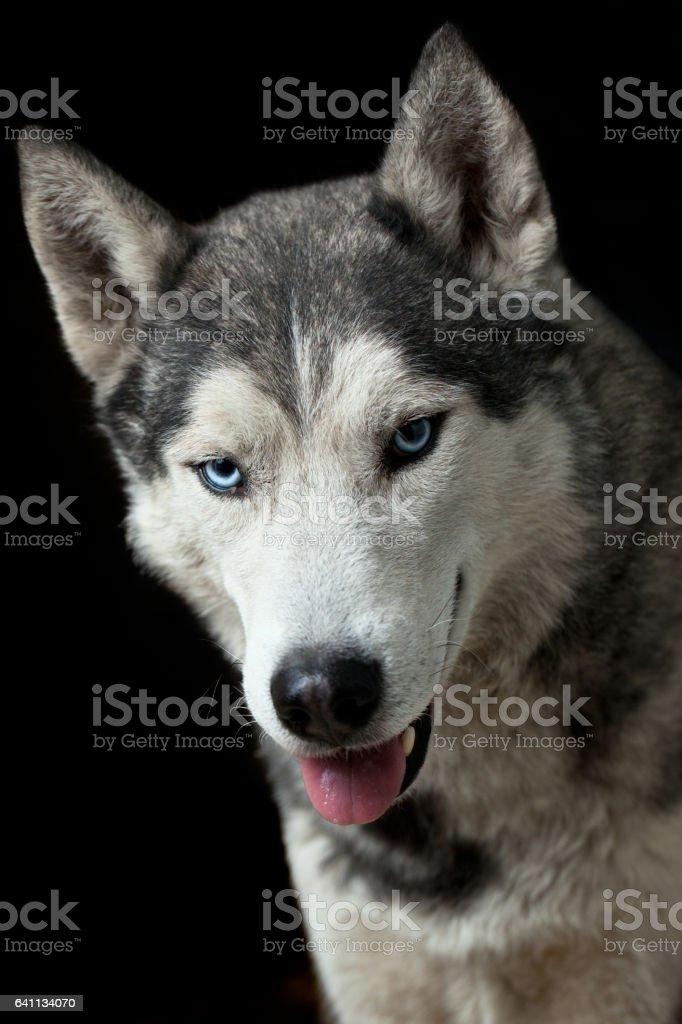 Siberien husky stock photo
