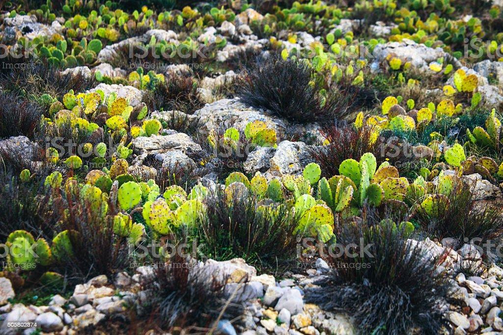 Sicilian landscape with succulent plants, Capo Rama. stock photo