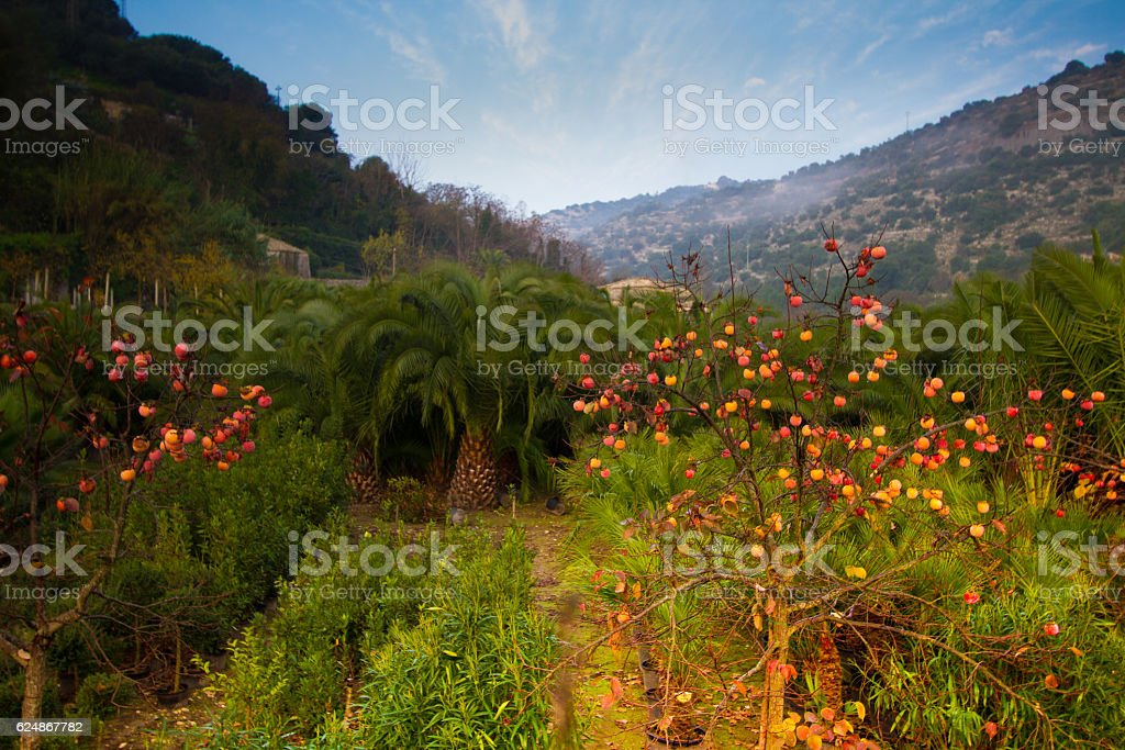 Sicily Autumn Landscape: Palm and Persimmon Trees in Green Valley stock photo