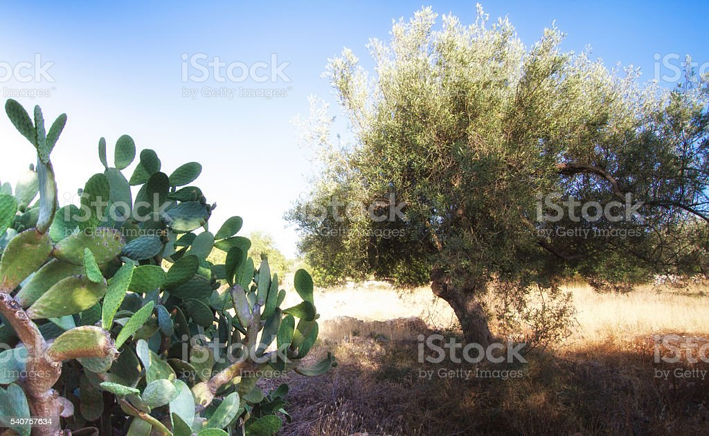 Sicily Landscape: Prickly Pear Cactus and Olive Tree stock photo