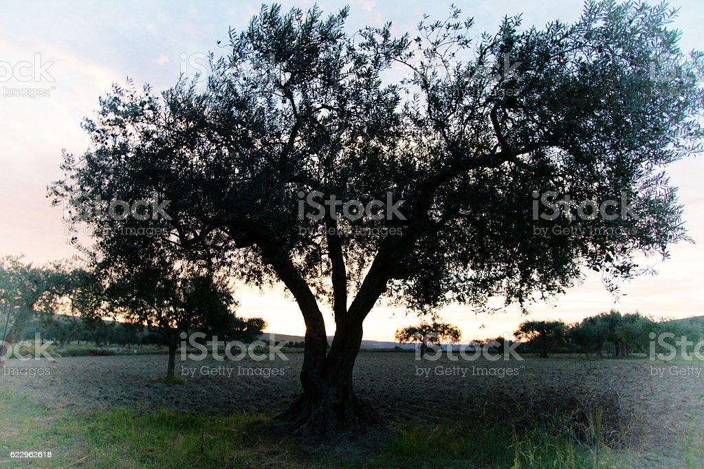 Sicily Scene: Lone Olive Tree in Early Morning Light stock photo