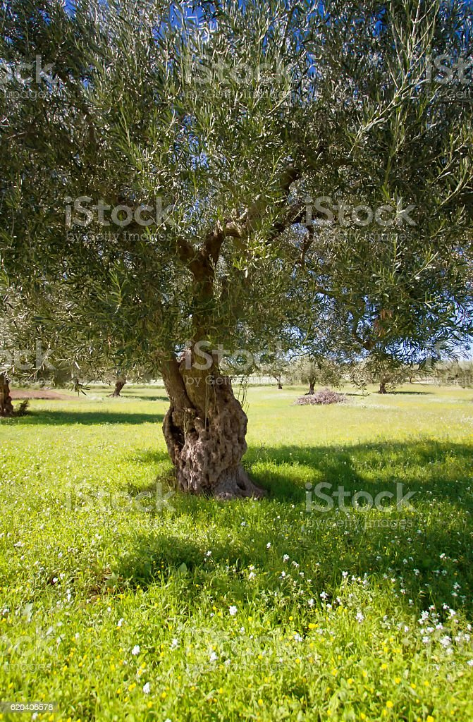 Sicily: Sunlit Mediterranean Olive Grove with Lush Floral Undergrowth stock photo