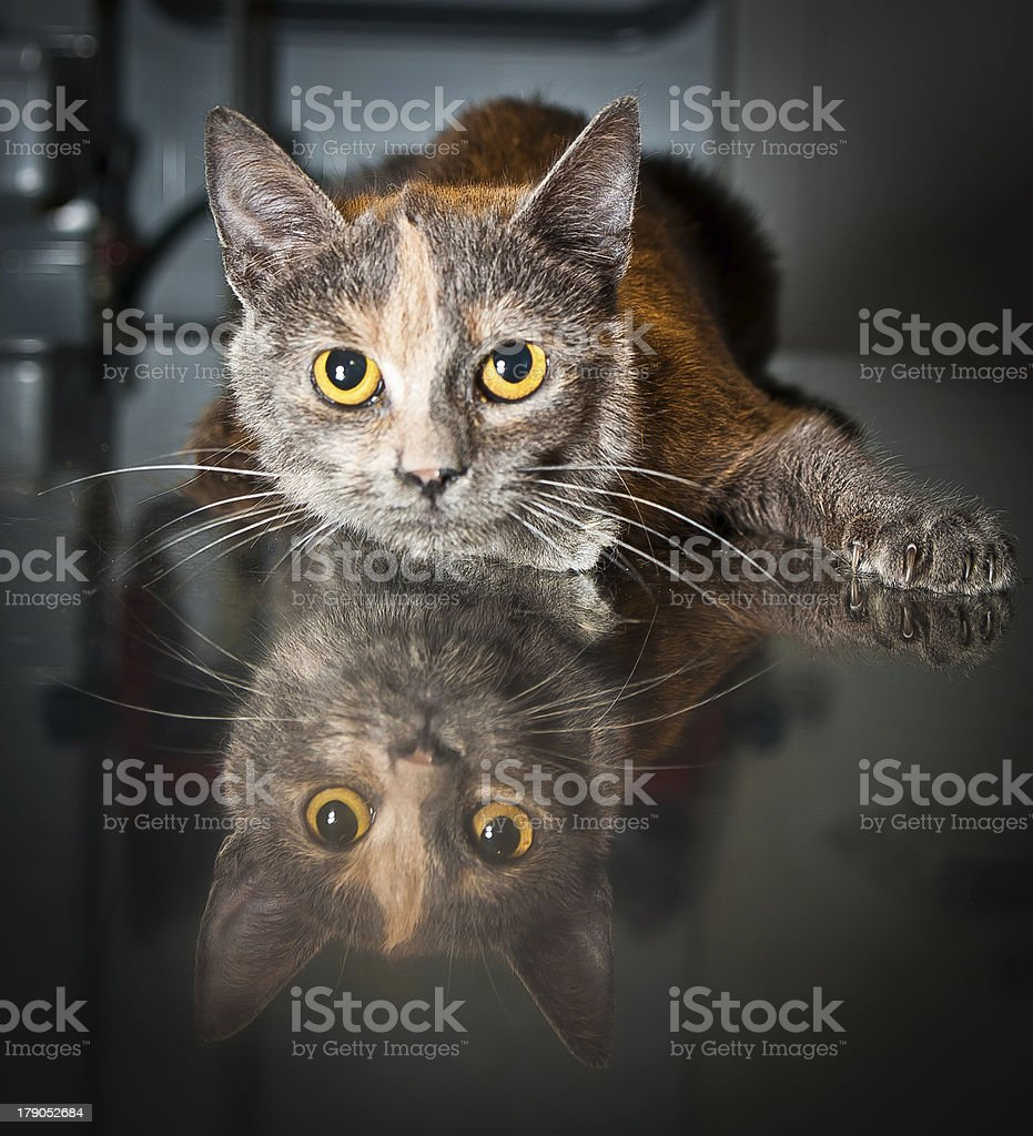 Sick cat at veterinarian royalty-free stock photo