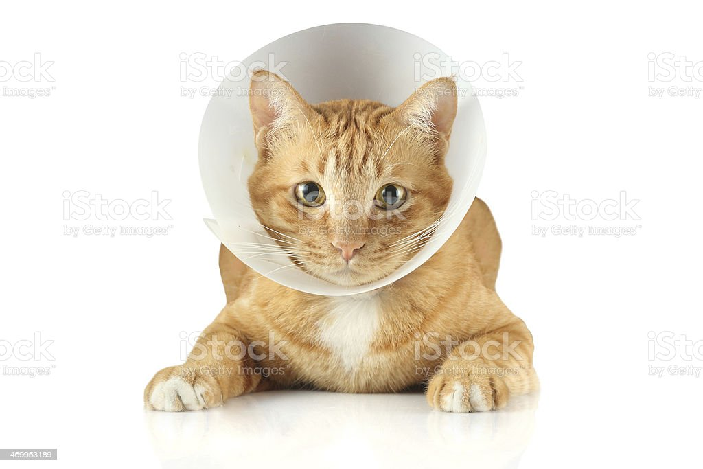 A sick cat wearing a funnel collar stock photo
