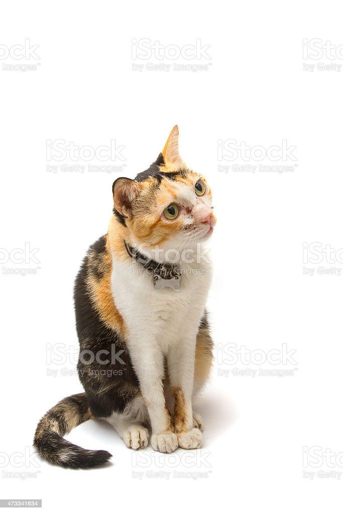 Sick cat with pulmonary disease ,isolate stock photo