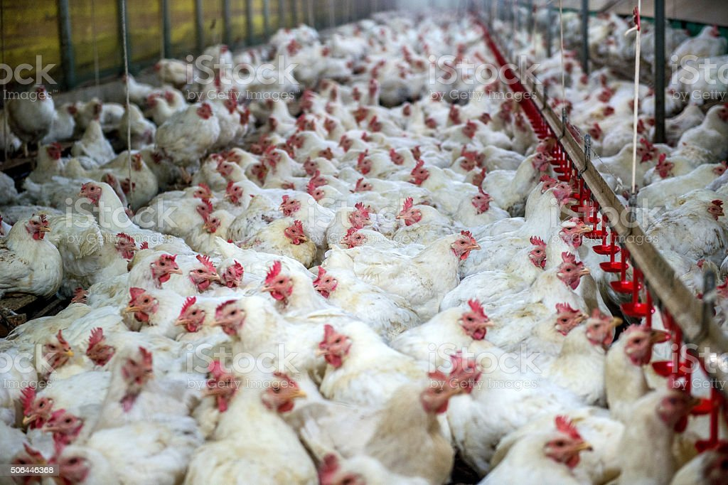 Sick chicken or Sad chicken in farm,Epidemic, bird flu. stock photo