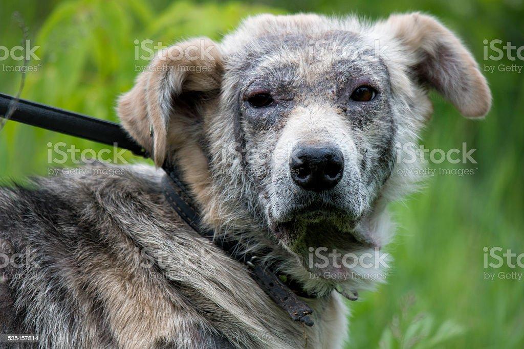 sick dog demodex stock photo
