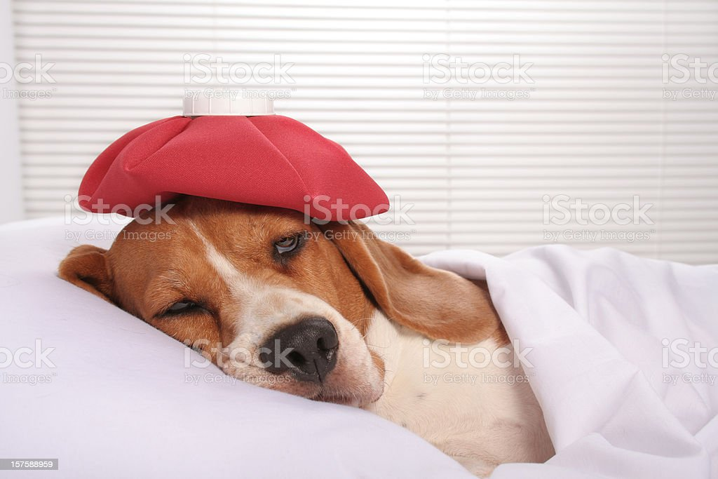 Sick dog in hospital bed stock photo