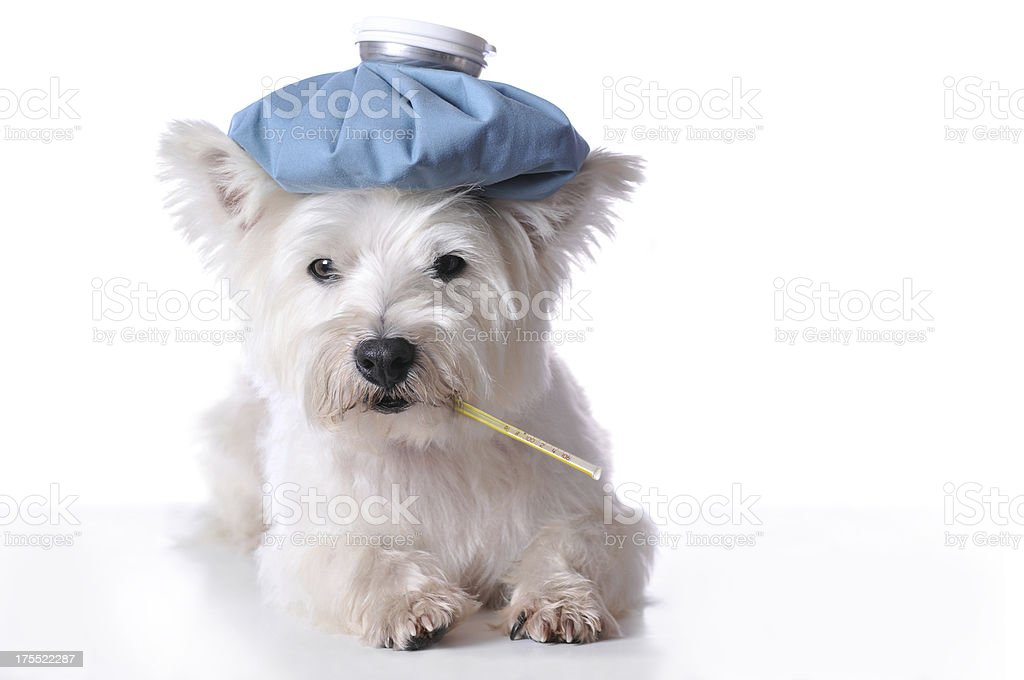 Sick Dog Laying Down with Ice Pack and Thermometer royalty-free stock photo