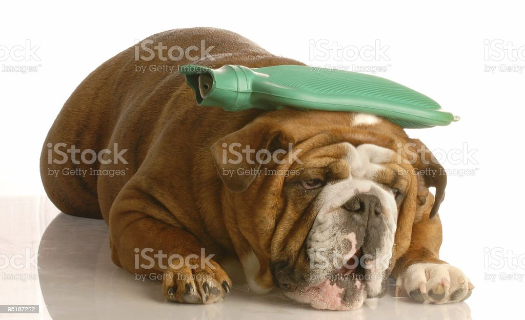 sick dog royalty-free stock photo