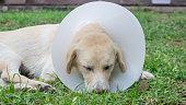 Sick dog wearing a funnel collar.