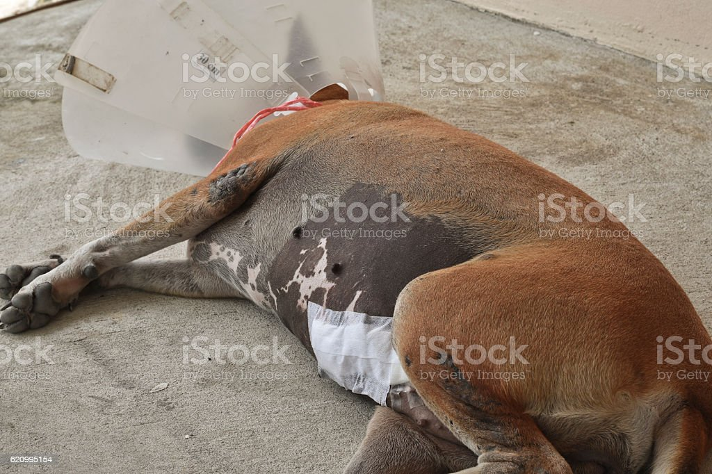 Sick dog wearing a protective collar stock photo