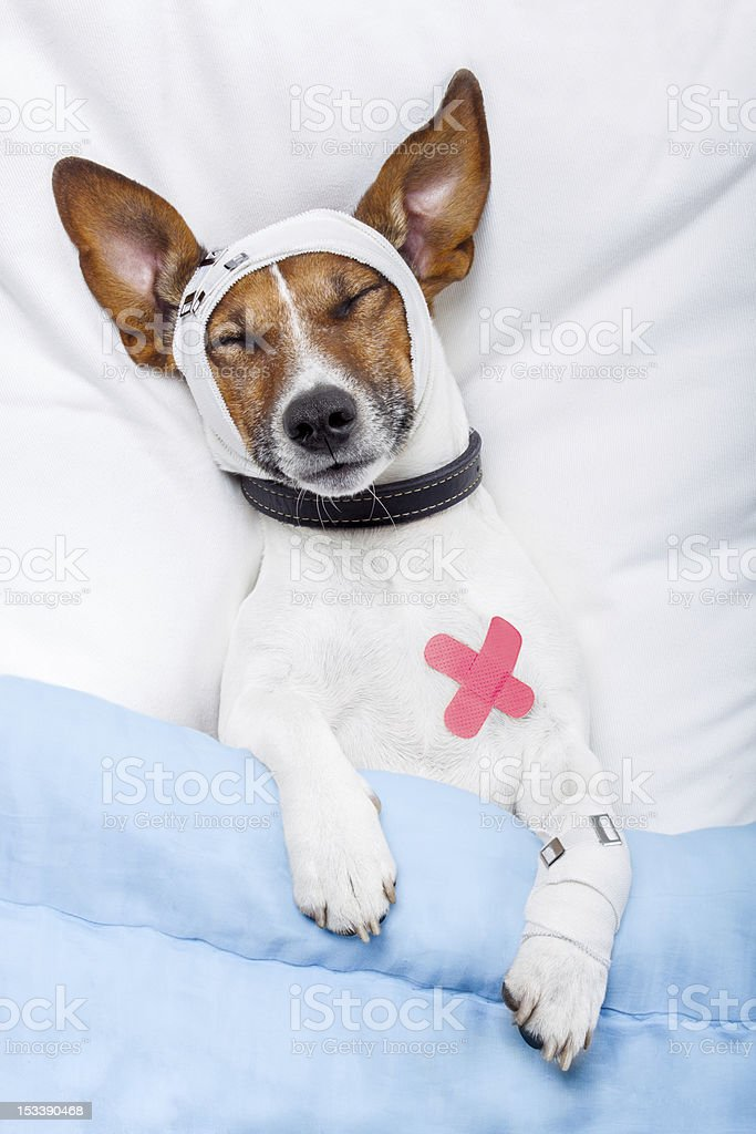 Sick dog with bandages royalty-free stock photo