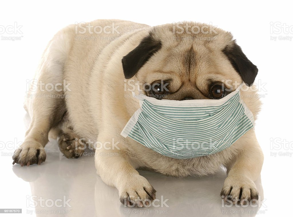 sick dog with mask royalty-free stock photo