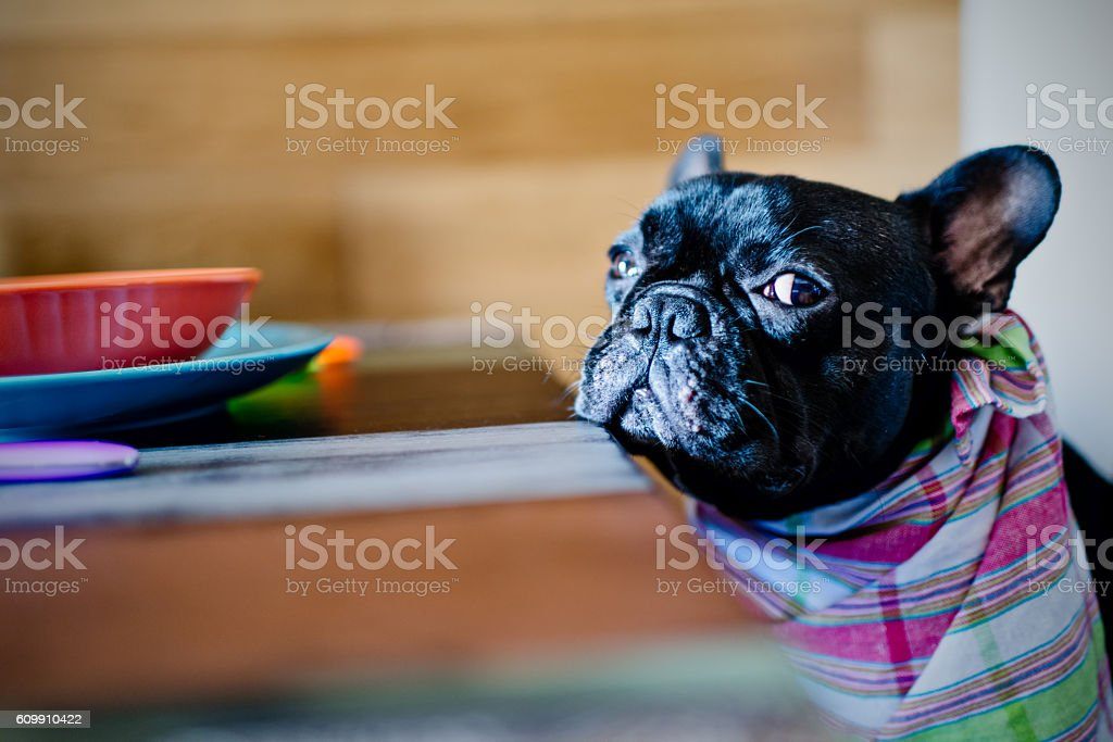 Sick French Bulldog stock photo