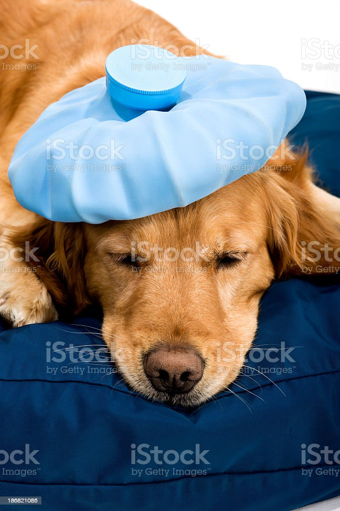 Sick Golden Retriever on dog bed stock photo