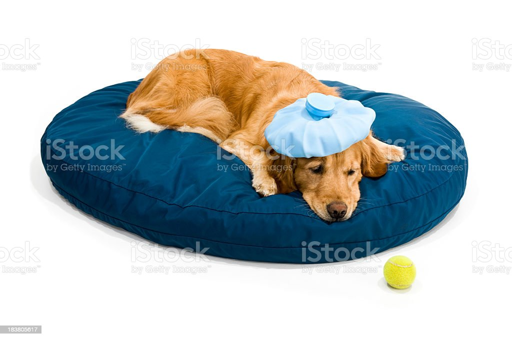 Sick Golden Retriever stock photo