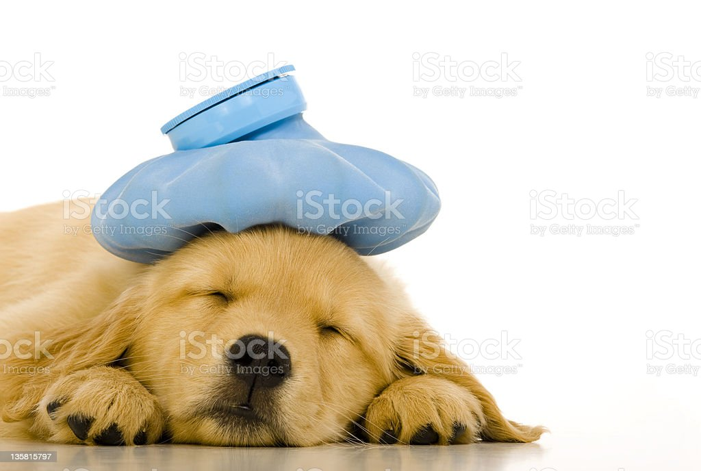Sick Golden Retriever puppy with blue ice pack stock photo