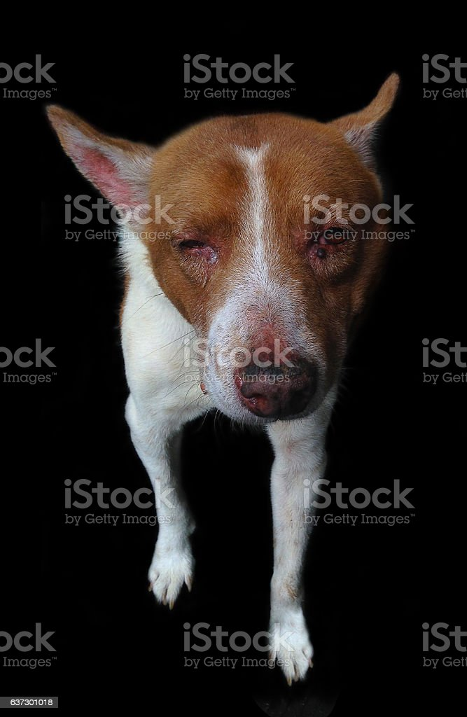 sick homeless dog on black background stock photo