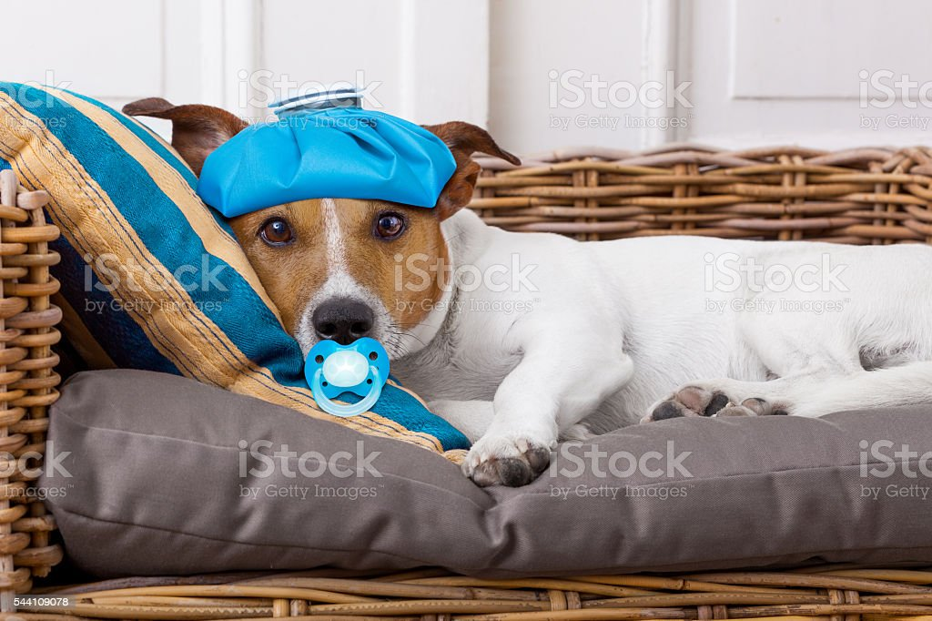 sick ill dog with fever stock photo