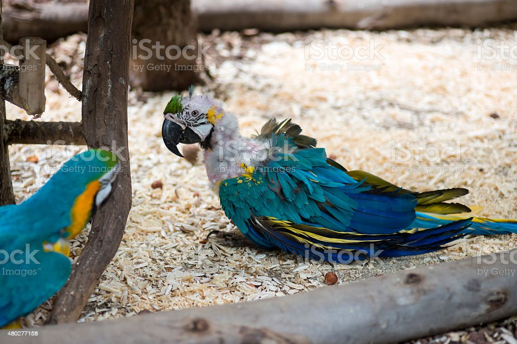 Sick parrot stock photo