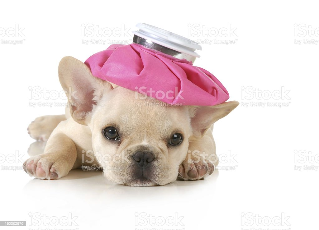 sick puppy royalty-free stock photo