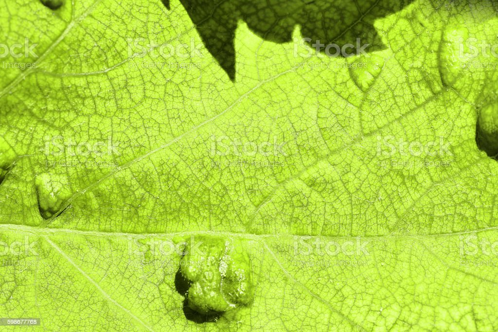 Sick vine leaf texture affected by Colomerus Vitis full frame stock photo
