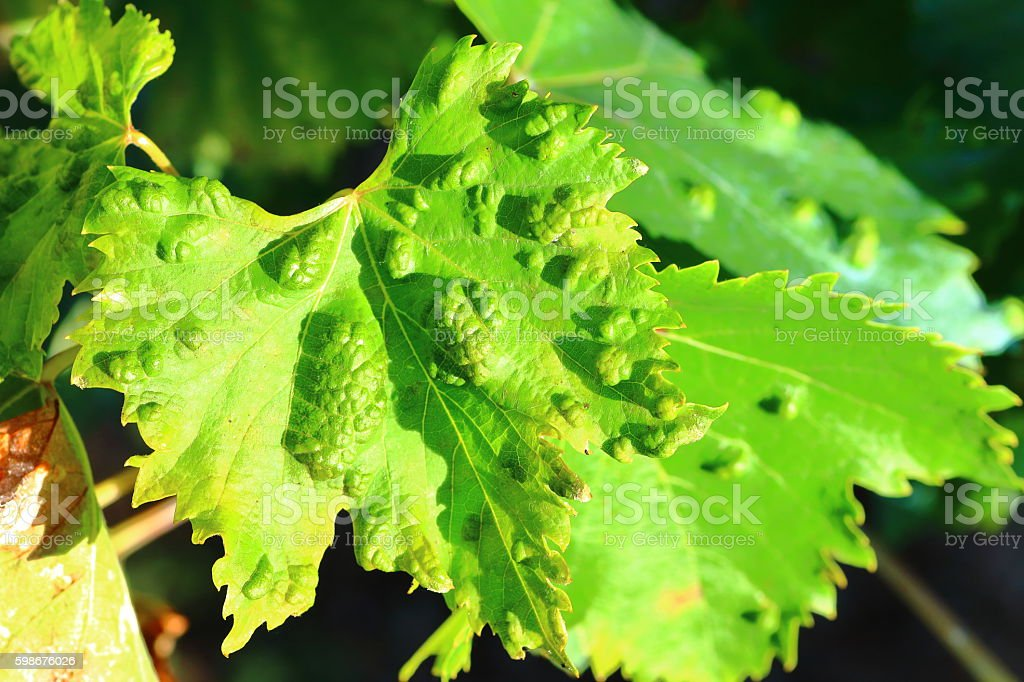 Sick vine leaves close-up affected by Colomerus Vitis in summer stock photo