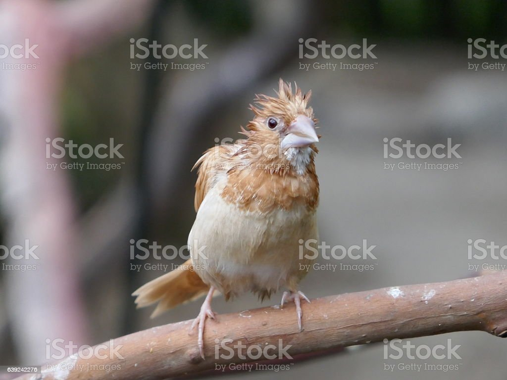 Sickly Finch stock photo