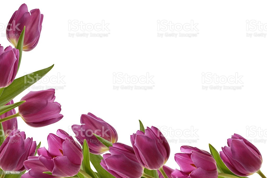 Side and bottom border of tulips on a white background royalty-free stock photo