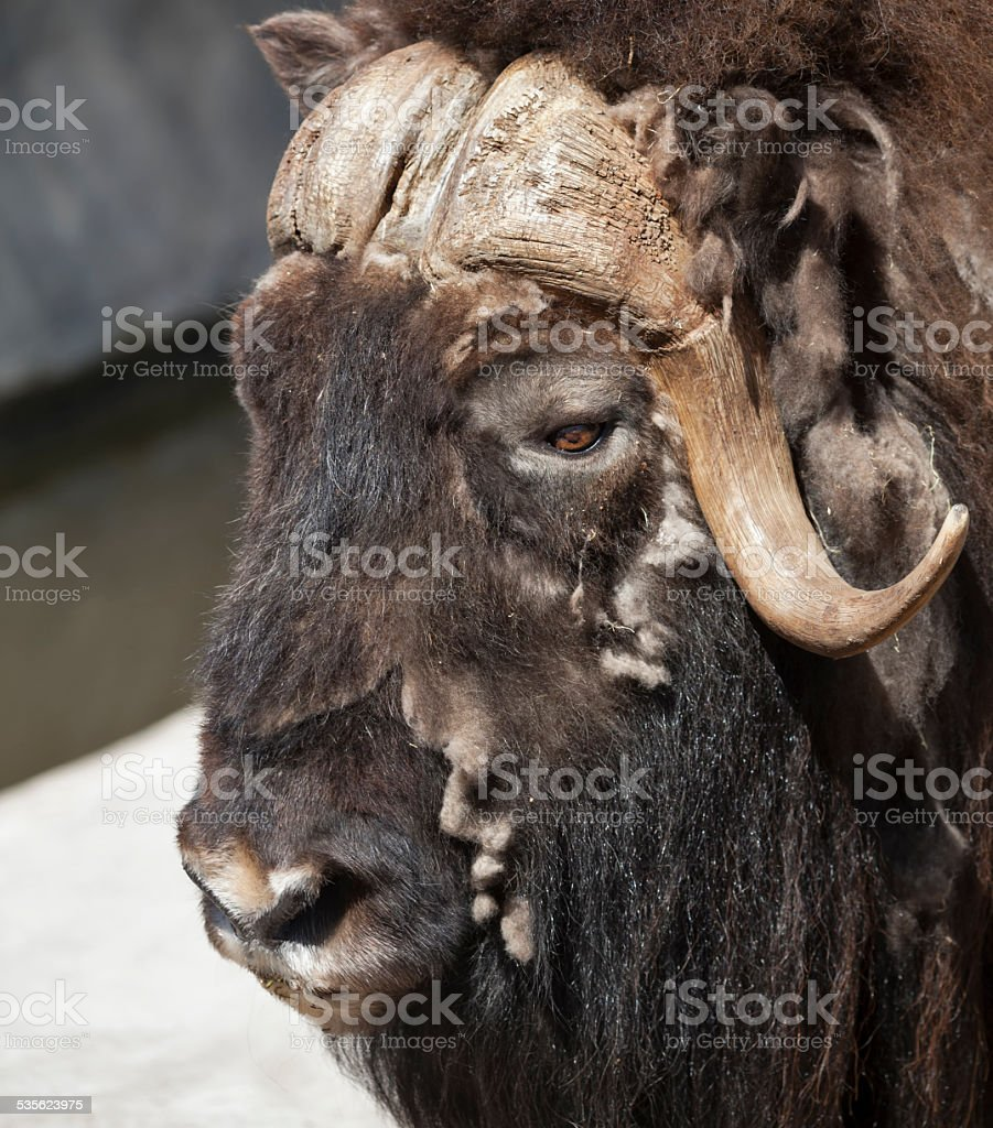 Side face portrait of molting musk buffalo. stock photo