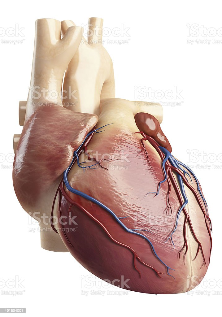 Side face view of the heart interior stock photo