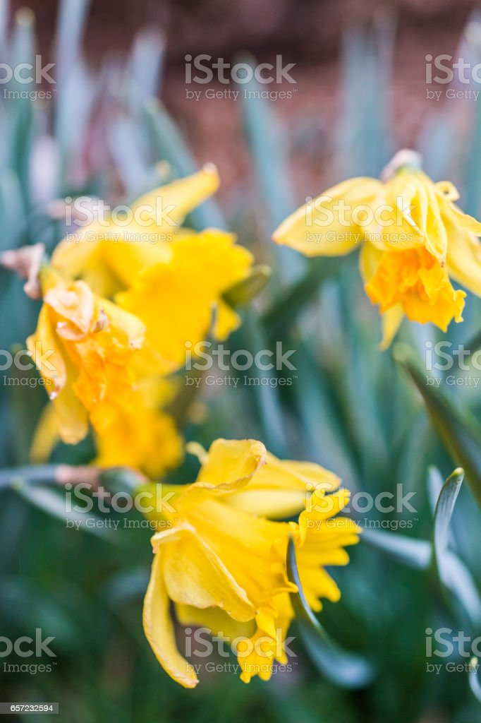 Side macro closeup of wilted daffodils turning brown stock photo